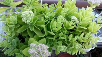 Photo of Cura della pianta Sedum spectabile o Sedum brillante