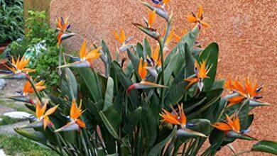 Photo of Cura della pianta Strelitzia reginae o Uccello del Paradiso