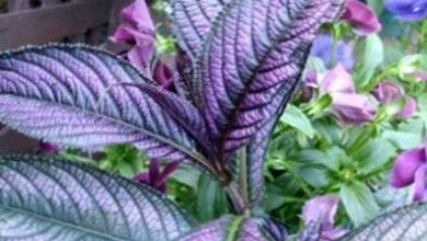 Photo of Cura della pianta Strobilanthes dyerianus o Scudo persiano
