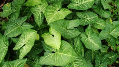 Photo of Cura della pianta Syngonium podophyllum o Singonio