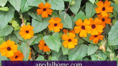 Photo of Cura della pianta Thunbergia alata o Black-eyed Susan