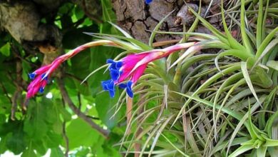 Photo of Cura della pianta Tillandsia aeranthos o Air Carnation
