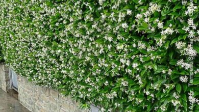 Photo of Cura della pianta Trachelospermum jasminoides o falso gelsomino