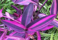 Photo of Cura della pianta Tradescantia pallida o Purpurina