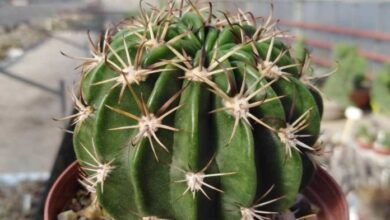Photo of Cura della pianta Trichocereus o Tricocereo