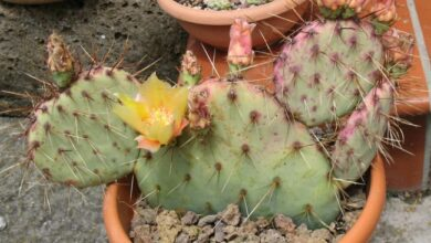 Photo of Cura della pianta Tunilla corrugata o Opuntia longispina