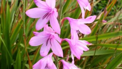 Photo of Cura della pianta Watsonia borbonica o Watsonia viola