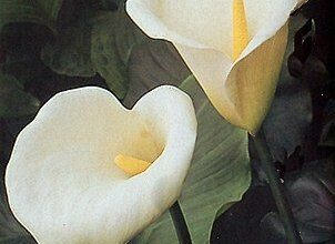 Photo of Cura della pianta Zantedeschia aethiopica, Alcatraz o Cala