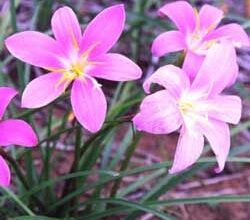Photo of Cura della pianta Zephyranthes carinata o Cefirante