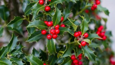 Photo of Cura dell'acquifolio di Ilex o dell'agrifoglio