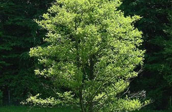 Photo of Cura dell'albero Alnus glutinosa, Alno o Aliso