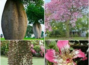 Photo of Cura dell'albero Chorisia speciosa, Ceiba o Bottle Tree