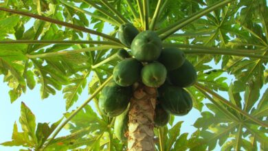 Photo of Cura dell'albero di carica papaya, Papaya o Papaya