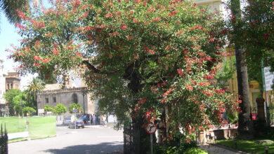Photo of Cura dell'albero Phytolacca dioica, Ombú o Bellasombra
