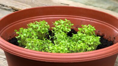 Photo of Cura delle erbe maggiorana in casa: come coltivare la maggiorana dolce in casa
