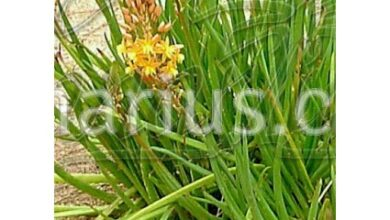 Photo of Cura delle piante Bulbine frutescens o Bulbine yellow