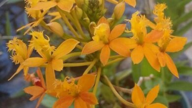 Photo of Cura delle piante Epidendrum radicans o Fire Star