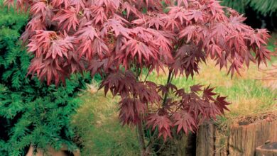 Photo of Cura di Acer palmatum o acero giapponese