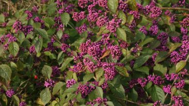 Photo of Cura di Callicarpa Bodinieri