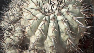 Photo of Cura di Copiapoa cinerea o Copiapoa de Philippi