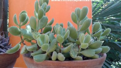 Photo of Cura di Cotyledon tomentosa o Cotyledon ladismithiensis