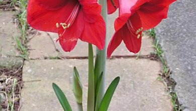 Photo of Cura di Hippeastrum hybridum o Amarilis