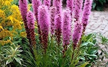 Photo of Cura di Liatris spicata o Liátride