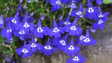 Photo of Cura di Lobelia erinus o Lobelia blu