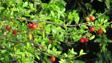Photo of Cura di Malpighia emarginata o Acerola