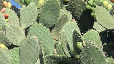 Photo of Cura di Opuntia ficus-indica, fico d'india o pianta Nopal