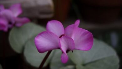 Photo of Cyclamen coum Cyclamen of Cos Island