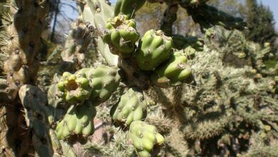 Photo of Cylindropuntia imbricata o Tencholote
