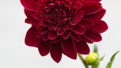 Photo of Dahlia x pinnata Dahlia commun