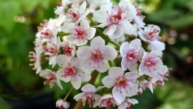 Photo of Darmera peltata, rhubarbe indienne, plante parapluie