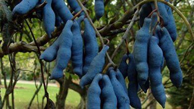 Photo of Decaisnea fargesii Fagiolo blu, Salsiccia blu