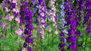 Photo of Delphinium, Larkspur