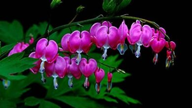 Photo of Dicentra Cuore bruciato, Cuore sanguinante