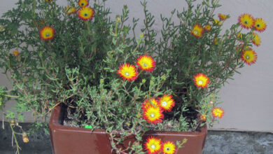 Photo of Drosanthemum micans