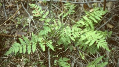 Photo of Dryopteridaceae