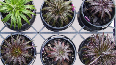 Photo of Dyckia