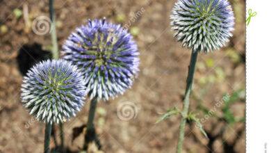 Photo of Echinops ritro Cardo blu, Palla blu