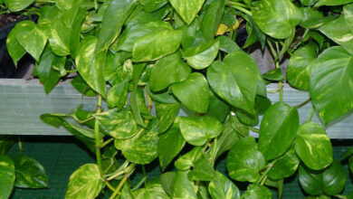 Photo of Edera del diavolo, Pothos