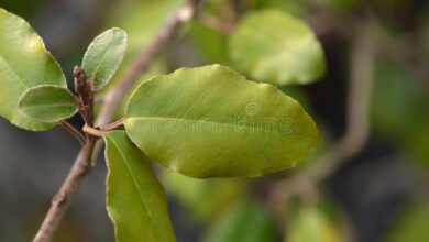 Photo of Elaeagnus x ebbingei Villa Ebbing, Ebbing Eleagnus