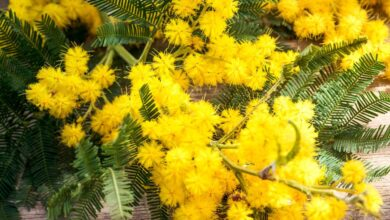 Photo of Entretien de la plante Acacia karroo ou Mimosa orange