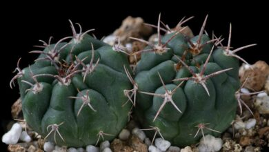 Photo of Entretien de la plante Gymnocalycium mostii ou Gymnocalycium de Most