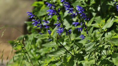 Photo of Entretien de la plante Salvia guaranitica ou Salvia azul