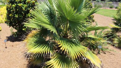 Photo of Entretien de la plante Washingtonia filifera o California Palm