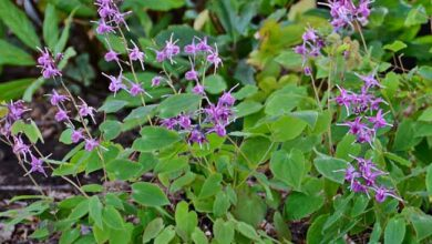 Photo of Epimedium grandiflorum Fiore dell'Elfo, Epimedron