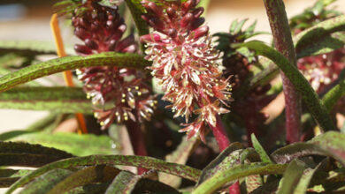 Photo of Eucomis vandermerwei Foglia nana eucomis