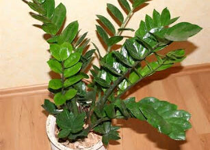 Photo of Falsa Zamia, Planta ZZ